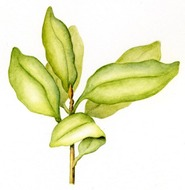 Highly detailed botanical illustration in watercolor paints of a green leafy plant.